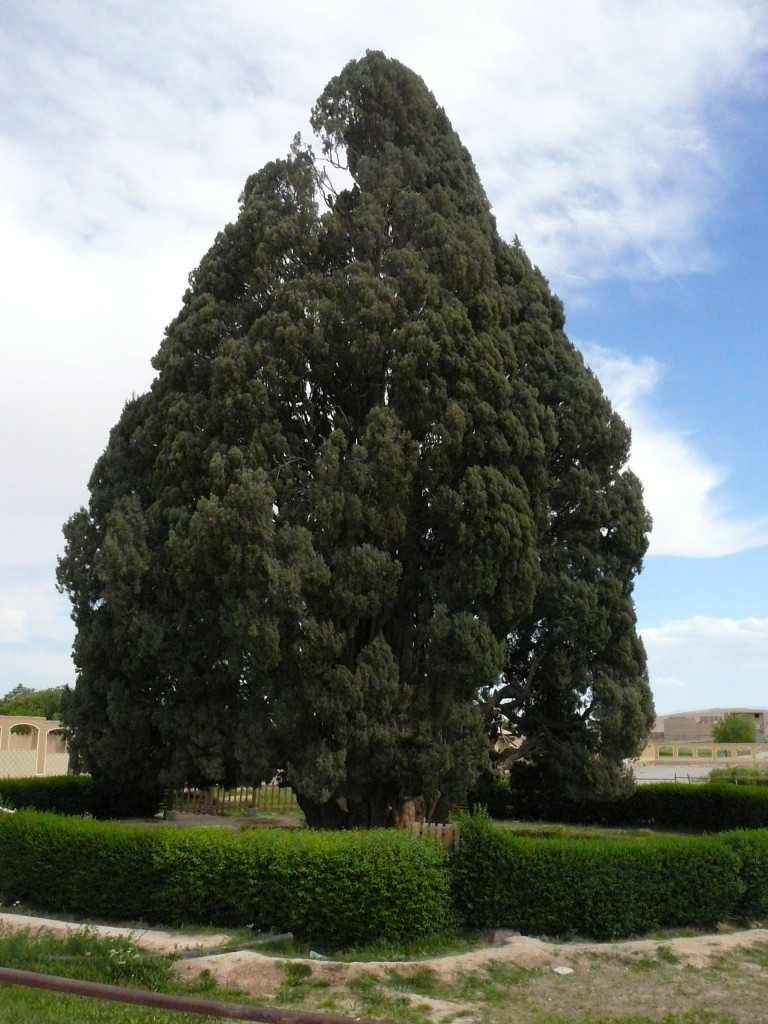 The Zoroastrian Sarv or the Cypress of Abarkuh